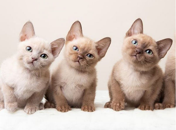 6 Tonkinese Cat Facts You Should Know - Elevated Cattery